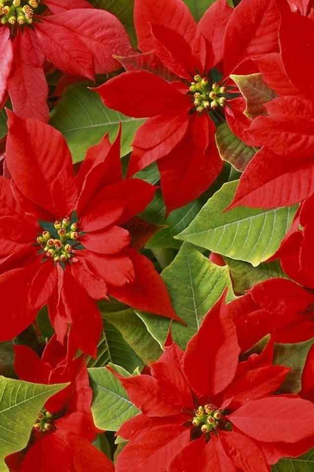 Flores De Pascua Para Hacer En Casa En Navidad