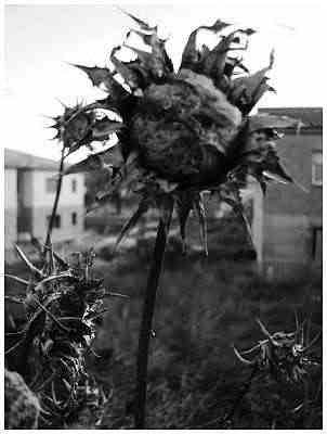 P1010188+flores+secas+grises