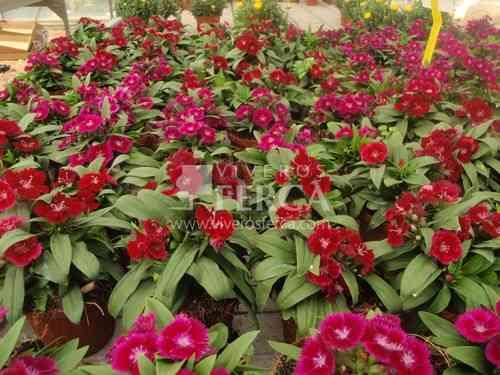 Abonado de plantas de flor, clavel chino