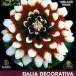 Bulbo Dalia decorativa granate punta blanca