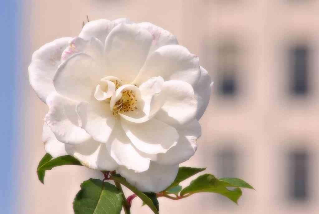 flores para aromatizar el hogar