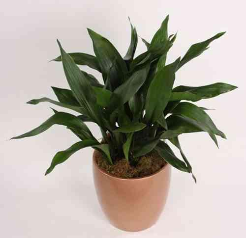 plantas de interior resistentes Aspidistra elatior ascot vale