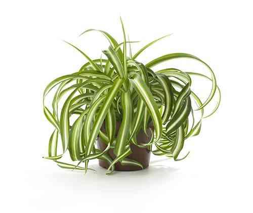 plantas de interior resistentes cinta floradania