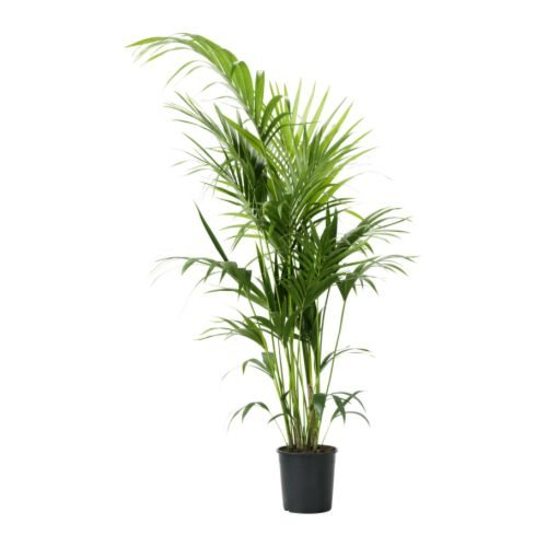 plantas de interior resistentes kentia ikea
