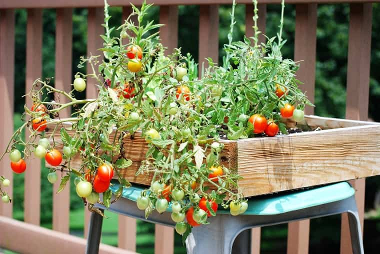 Huerto urbano - tomates cherry