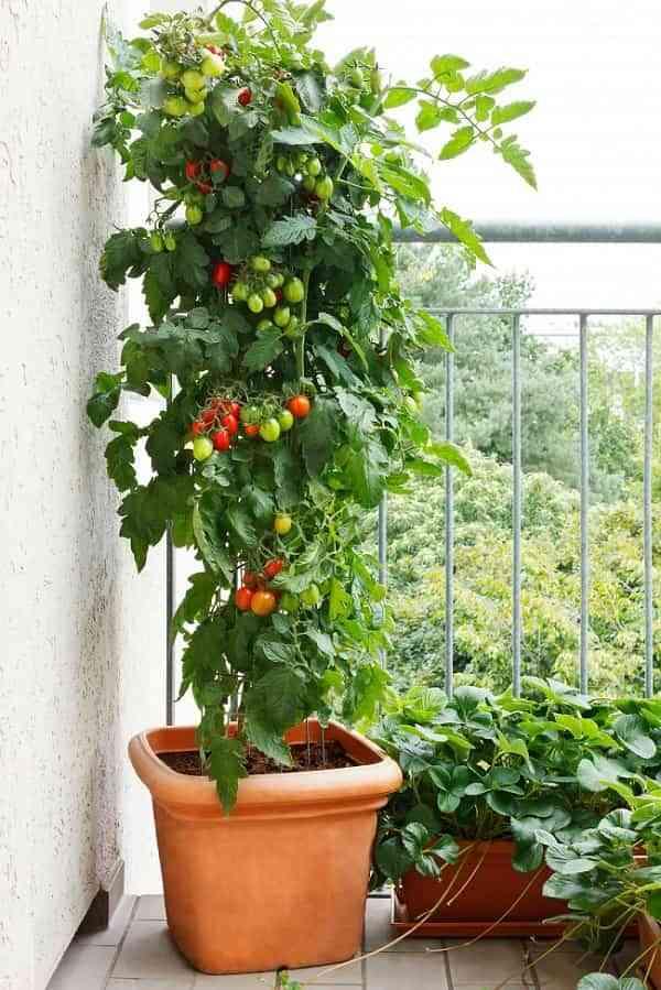 Huerto urbano - tomates