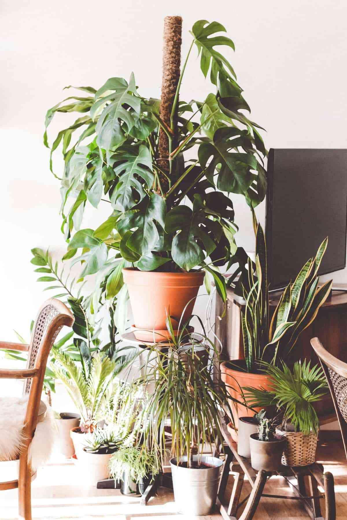 planta interior monstera
