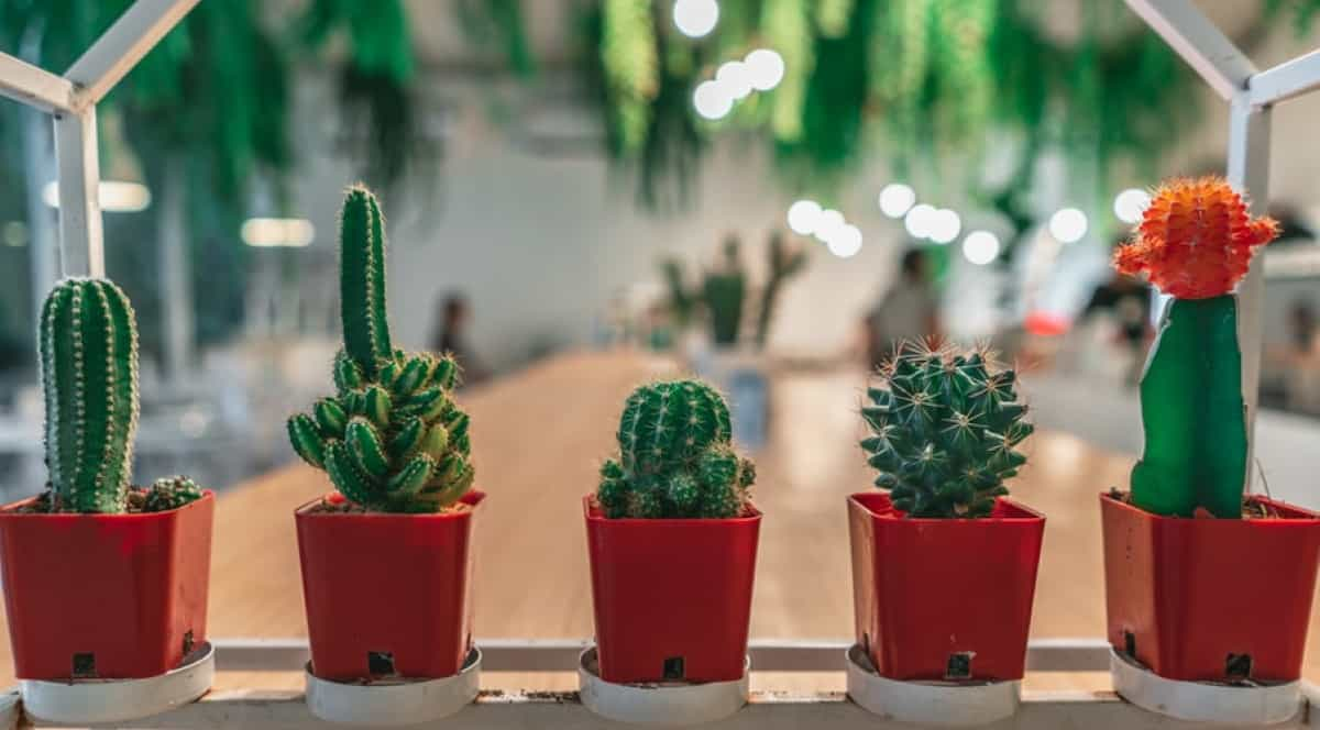 planta interior cactus