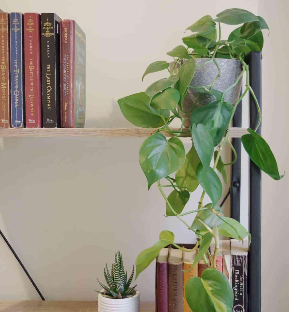 planta potos
