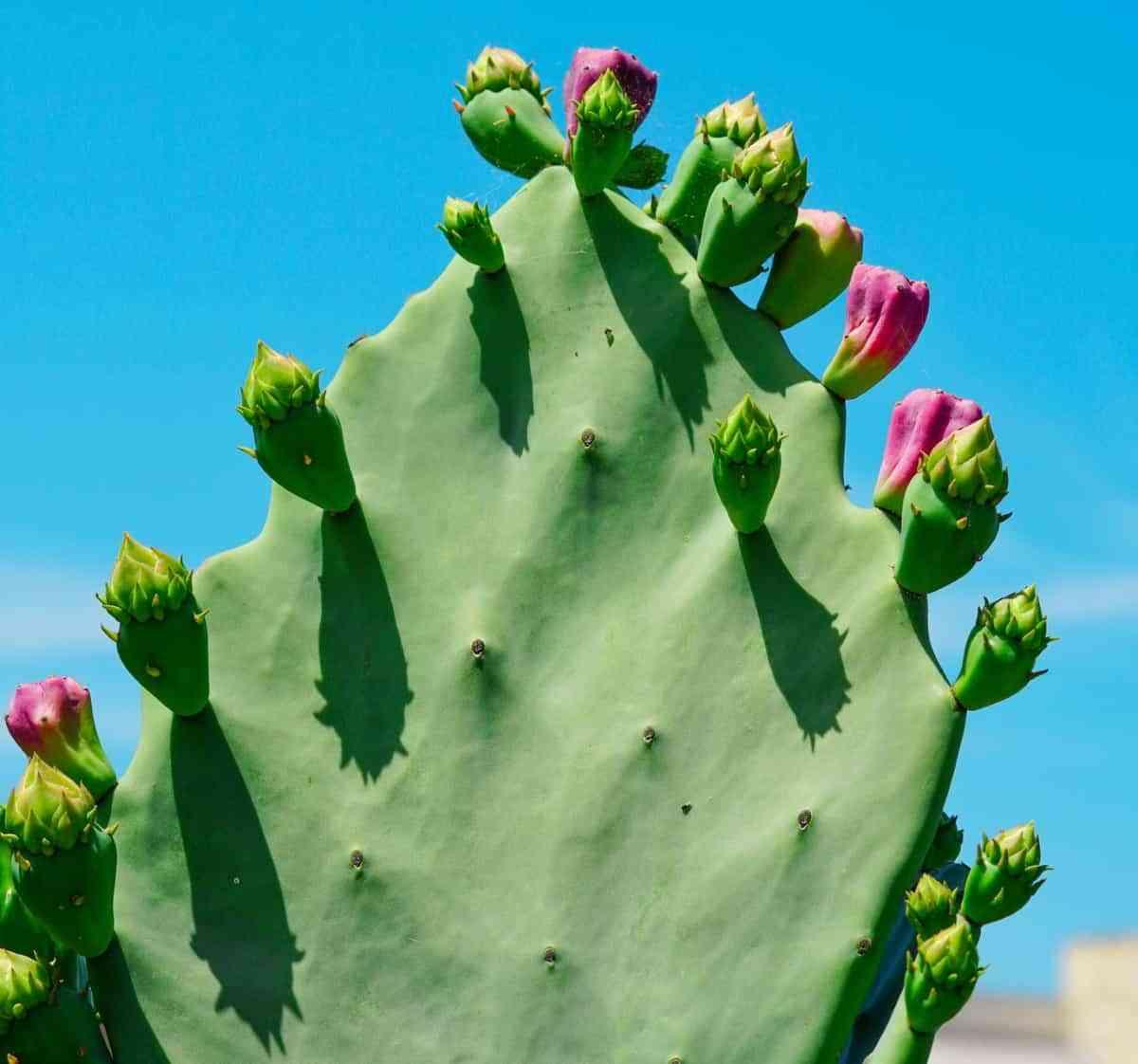 cactus cuidado invierno