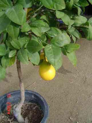 lemon_7.jpg