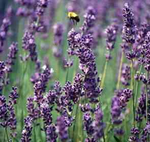 define-lavender-1.jpg