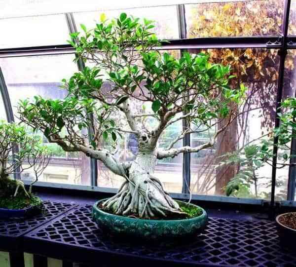 Tipos de bonsáis 1
