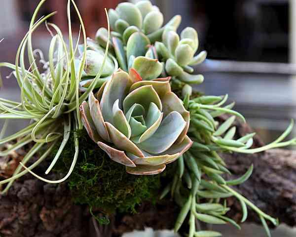 poda de las suculentas para tu jardín